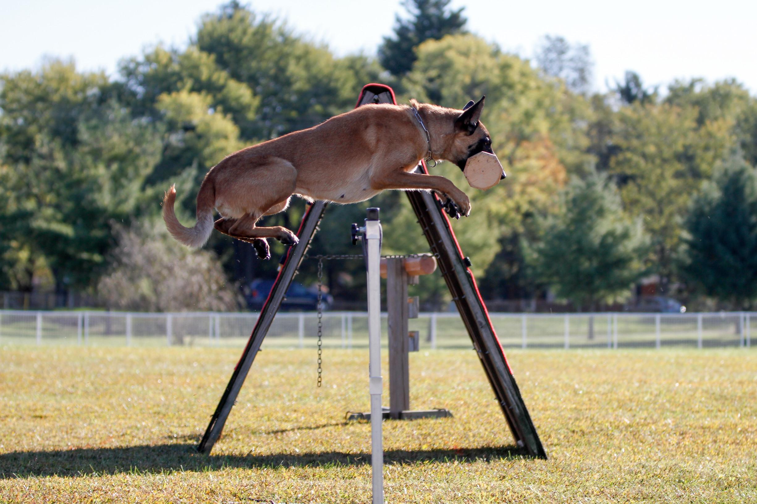 dog-competition-training