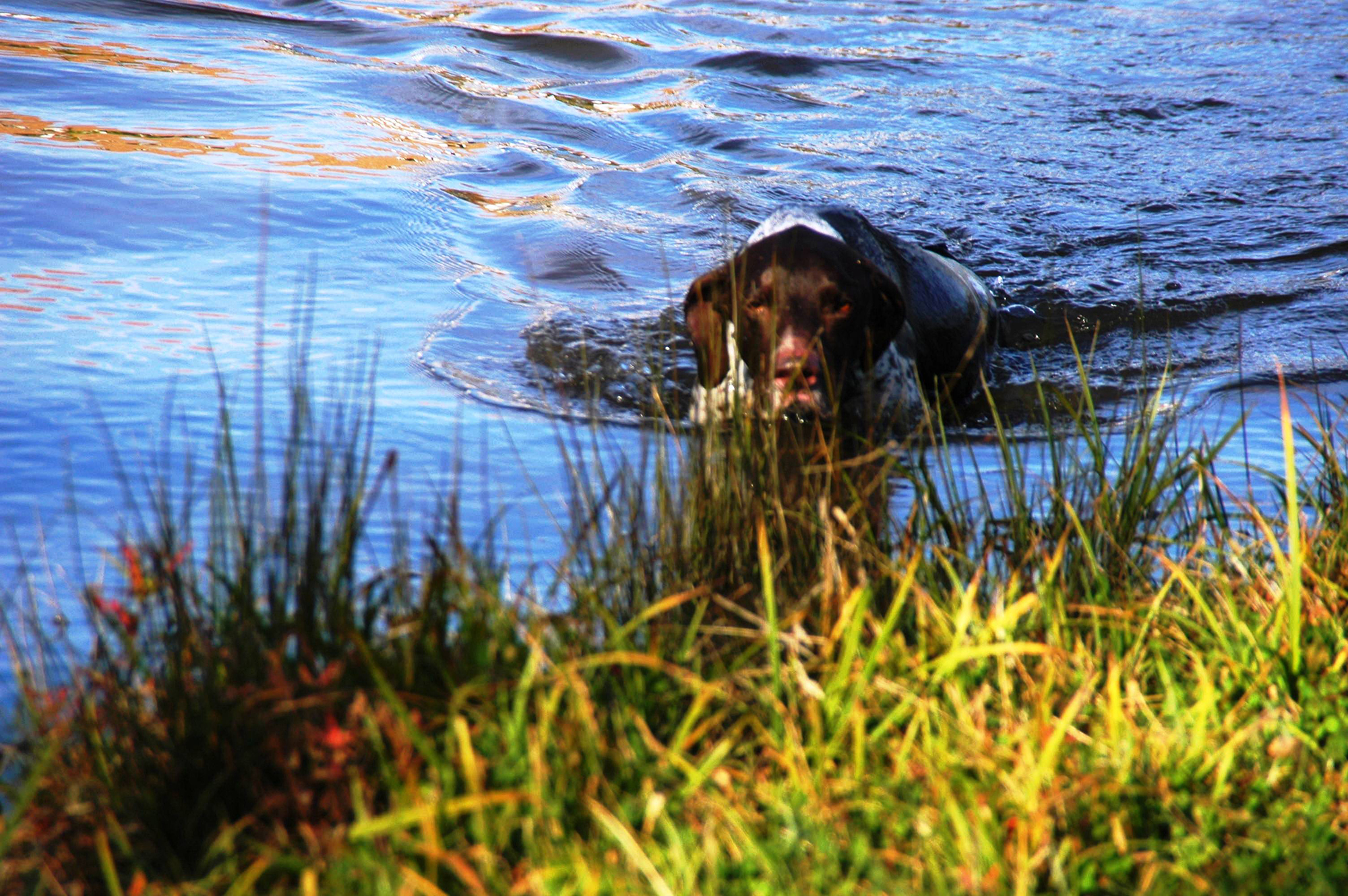Hunting and small game dog swimming