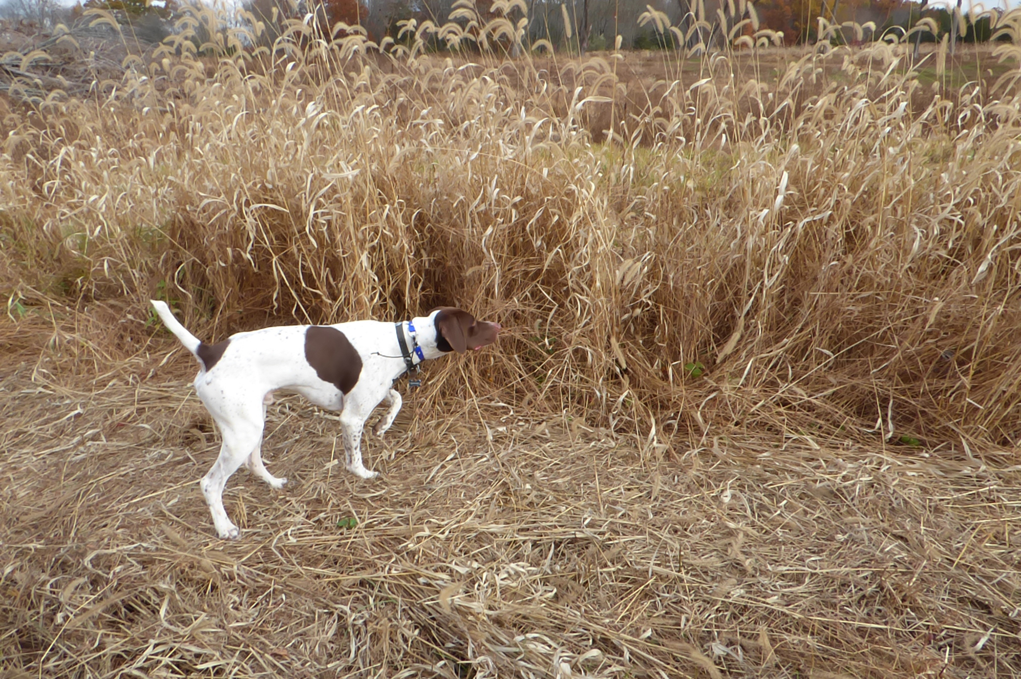 Hunting Dog Pointing