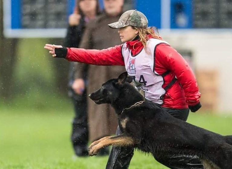German shepherd at the Working Dog Championship