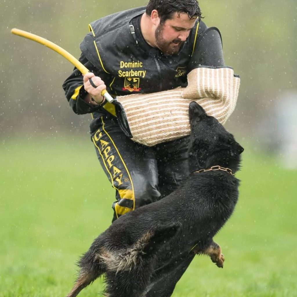 German Shepherd at the Working Dog Championship
