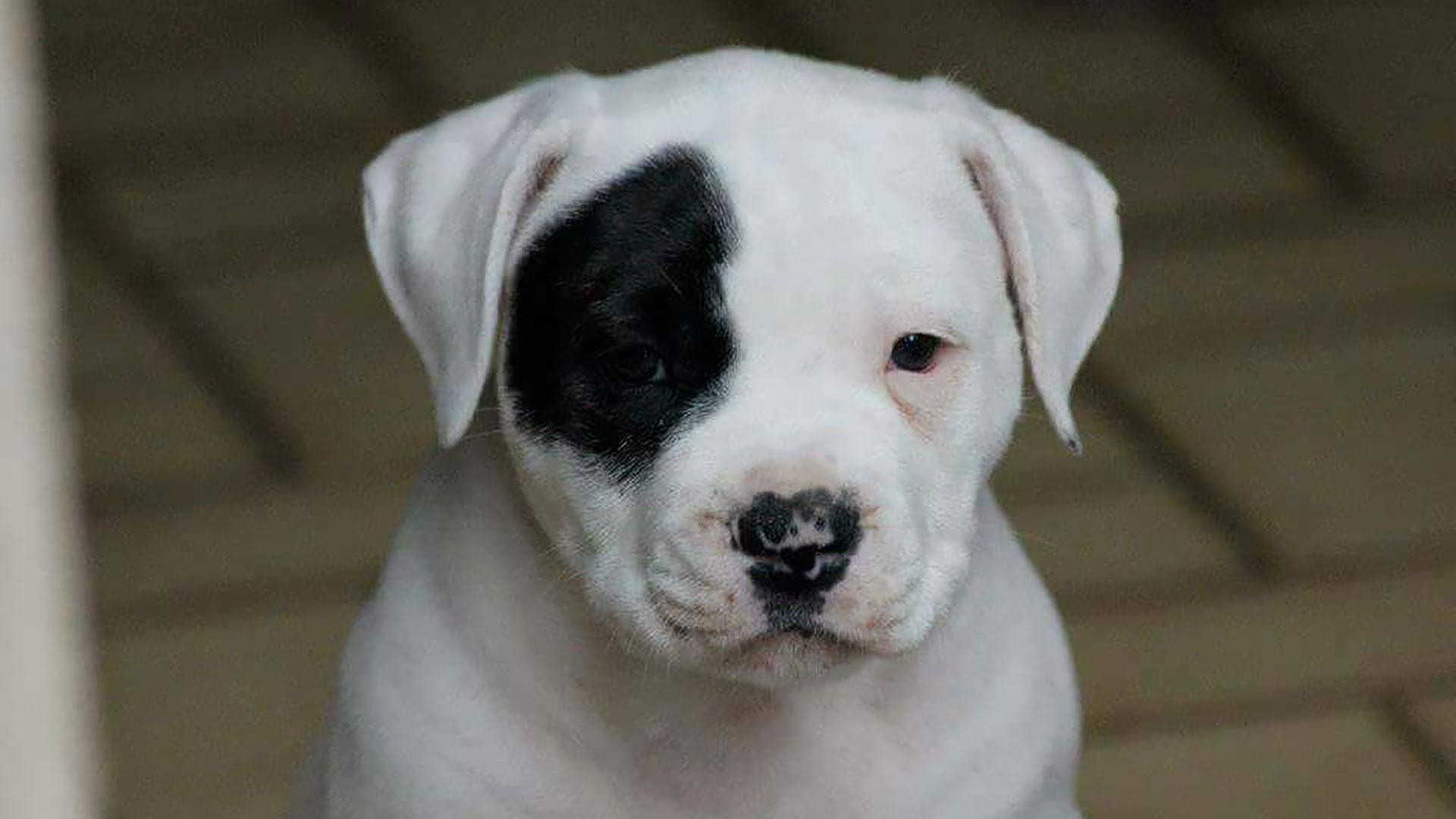 Beavis puppy